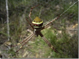 Argiope_keyserlingi_620