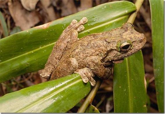 green-eyed-tree-frog